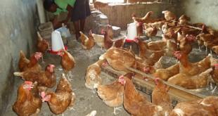 mrs kyalugonza innocent poultry - lubongi 3